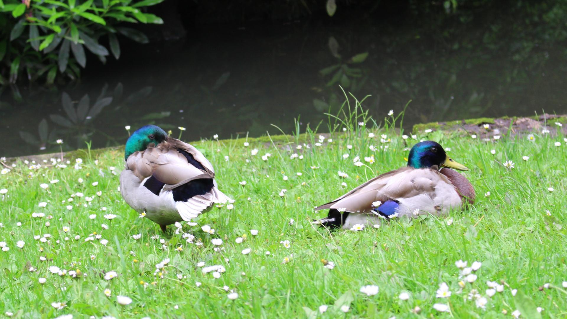 Mallards by Greenbank Park Lake by Lauren Day Saunders